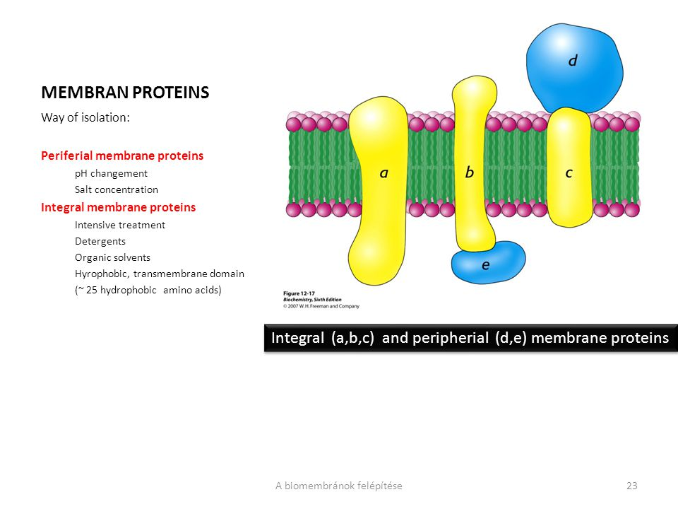MEMBRAN PROTEINS Way of isolation: Periferial membrane proteins pH changement Salt concentration Integral membrane proteins Intensive treatment Deterg
