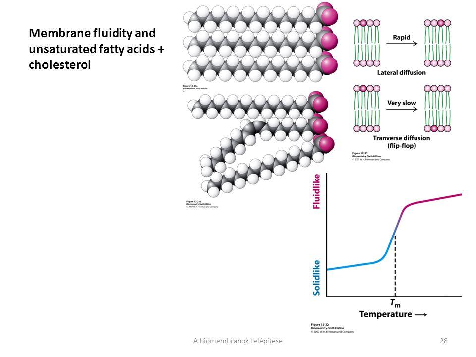 Membrane fluidity and unsaturated fatty acids + cholesterol A biomembránok felépítése28
