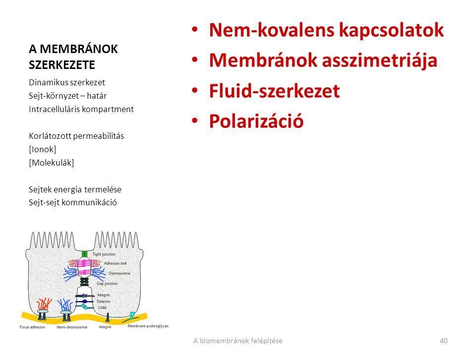 A MEMBRÁNOK SZERKEZETE Nem-kovalens kapcsolatok Membránok asszimetriája Fluid-szerkezet Polarizáció Dinamikus szerkezet Sejt-környzet – határ Intracelluláris kompartment Korlátozott permeabilitás [Ionok] [Molekulák] Sejtek energia termelése Sejt-sejt kommunikáció A biomembránok felépítése40