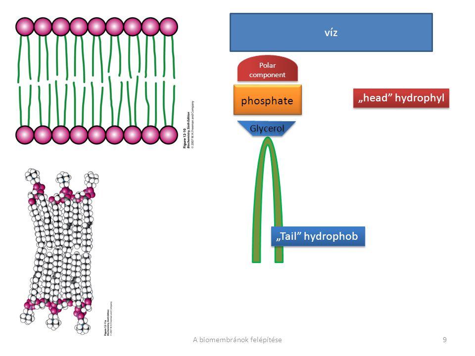 "phosphate Glycerol phosphate Glycerol Polar component víz ""head"" hydrophyl ""Tail"" hydrophob A biomembránok felépítése9"