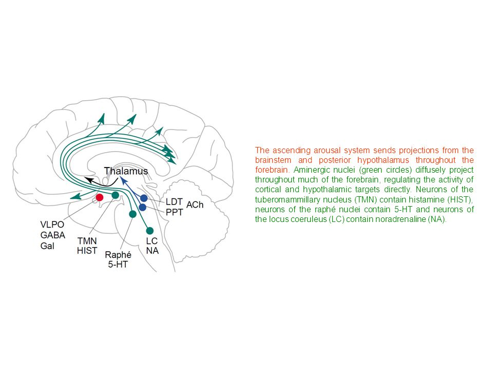 The ascending arousal system sends projections from the brainstem and posterior hypothalamus throughout the forebrain.