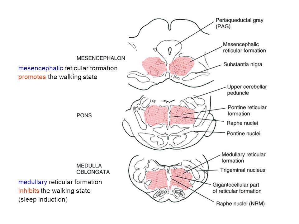 REM sleep jellemzői -neuronal activity is high in the pontine reticular formation, lateral geniculate body, occipital cortex neurons (PGO spikes), -overall increase in neuronal activity during REM sleep, -muscle tone is generally reduced, except eye movements, breathing, -dreaming, -changes of heart rate and blood pressure, -EEG enters a desynchronized pattern, - higher metabolic rate and body temperature, -pupils become highly constricted (miosis), -rapid eye movements, -respiration is relatively unresponsible to blood CO 2, -reduced responses to heat and cold (amibent body temperature), -penile erections.