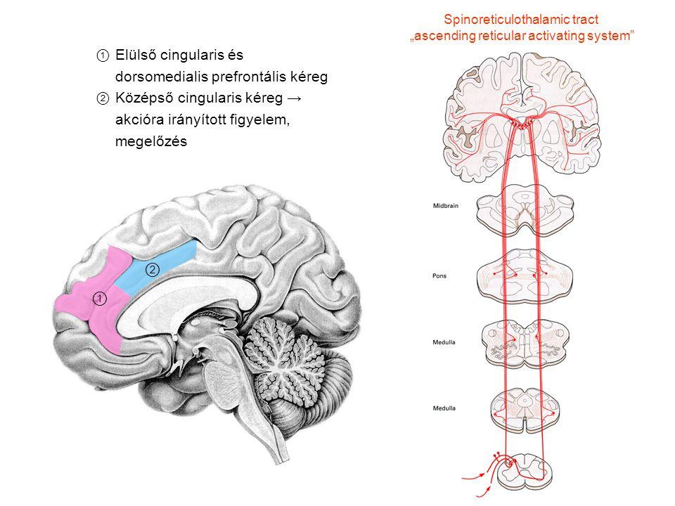 ① Elülső cingularis és dorsomedialis prefrontális kéreg ② Középső cingularis kéreg → akcióra irányított figyelem, megelőzés Spinoreticulothalamic trac