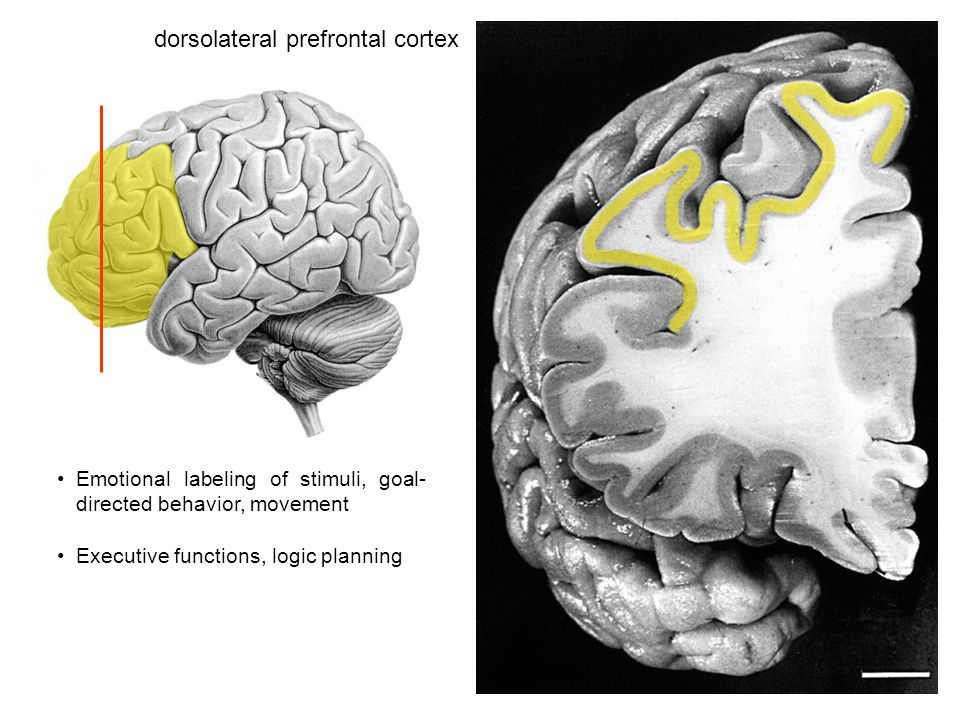 dorsolateral prefrontal cortex Emotional labeling of stimuli, goal- directed behavior, movement Executive functions, logic planning