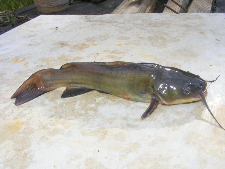 Minden vízben élő halfaj táplálék konkurense.Ivadékpusztító.