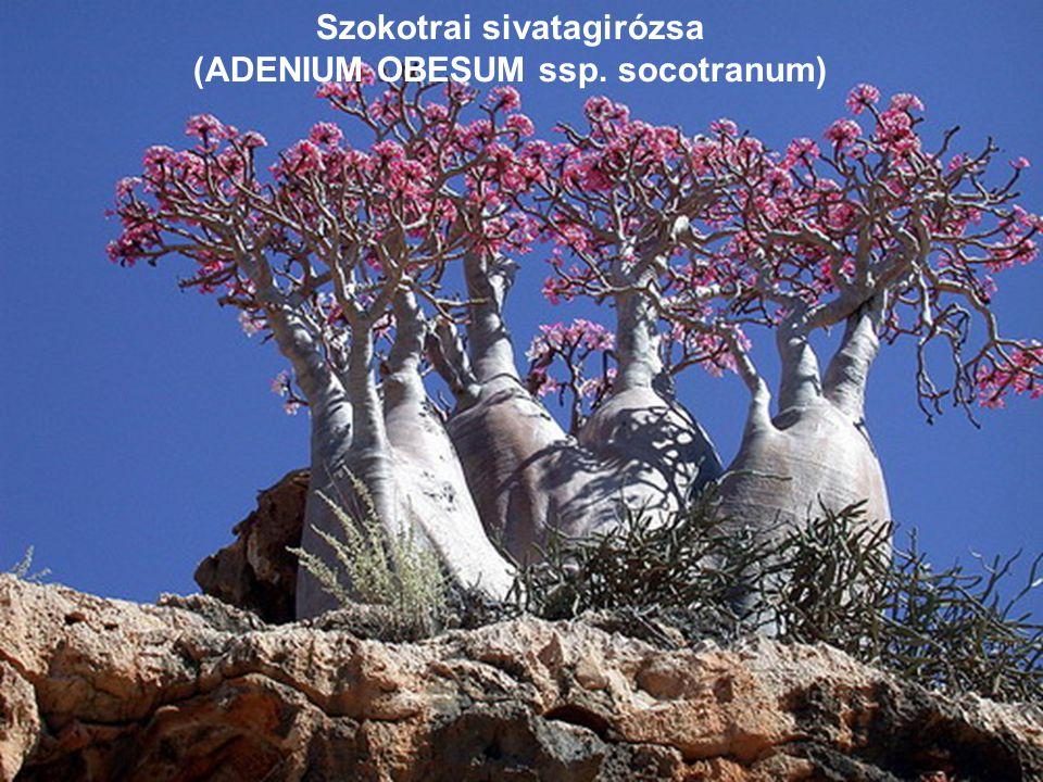 Sivatagirózsa (ADENIUM OBESUM)