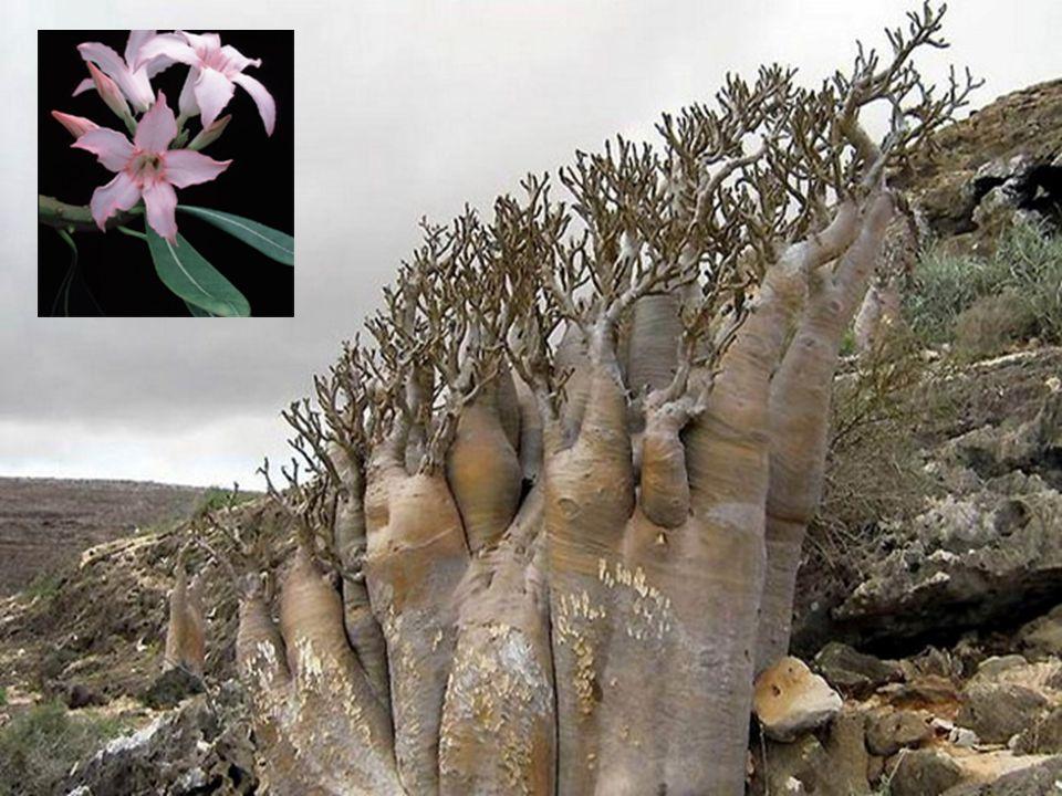 Szokotrai sivatagirózsa (ADENIUM OBESUM ssp. socotranum)