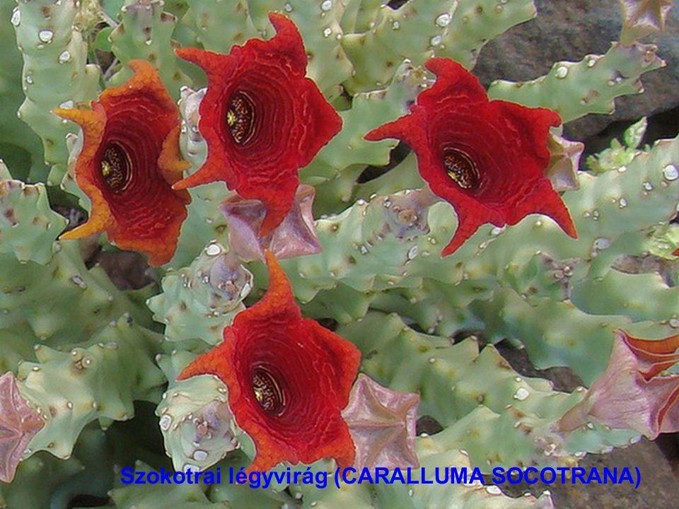 Szokotrai begónia (BEGONIA SOCOTRANA)