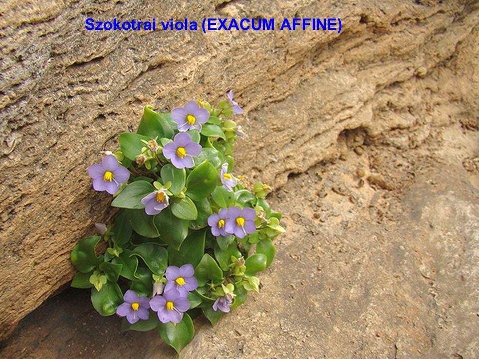 Szokotrai légyvirág (CARALLUMA SOCOTRANA)