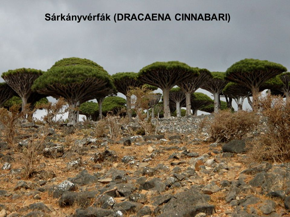 Sárkányvérfák (DRACAENA CINNABARI)