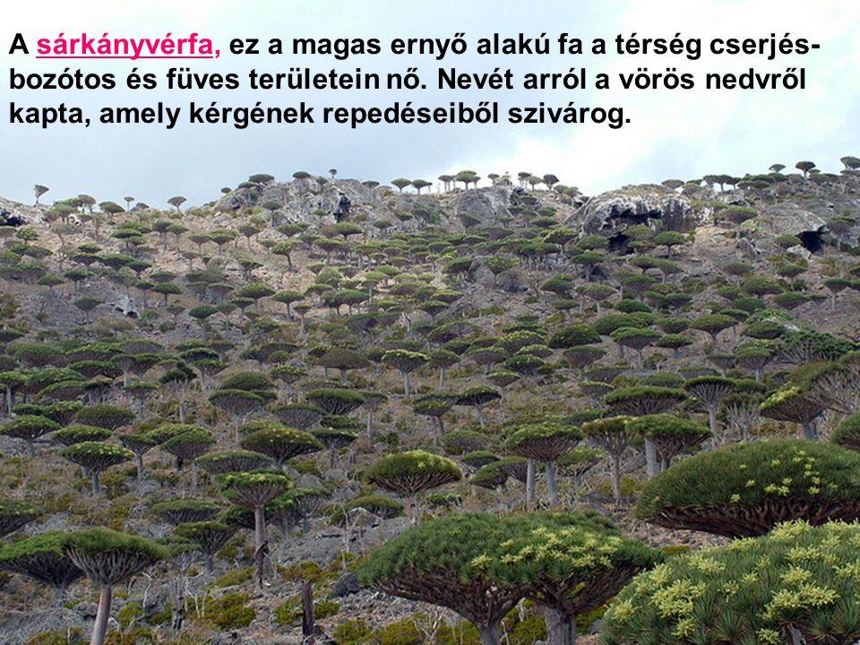 Dögkeselyű (NEOPHRON PERCNOPTERUS) + DORSTENIA GIGAS fügefa