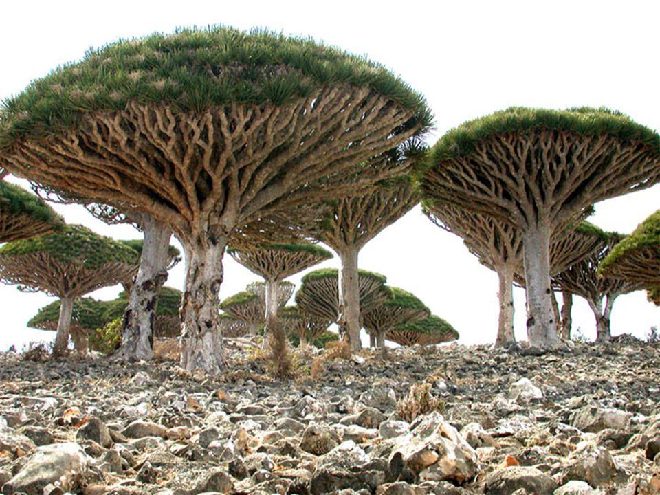 A sárkányvérfa, ez a magas ernyő alakú fa a térség cserjés- bozótos és füves területein nő.