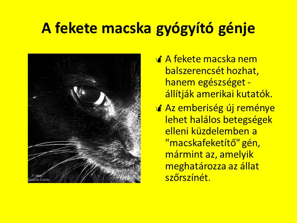 A fekete macska gyógyító génje  A fekete macska nem balszerencsét hozhat, hanem egészséget - állítják amerikai kutatók.  Az emberiség új reménye leh