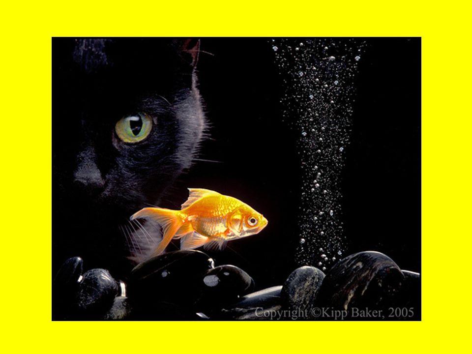 Szerencsét hoz a fekete macska  A sötét árnyként lopakodó egérvadászok valóban fenyegető jelenségként tűnnek fel az éjszakában, a fekete macska mégis csak a középkorban kialakult babonák következtében lett boszorkányos, elátkozott teremtmény.