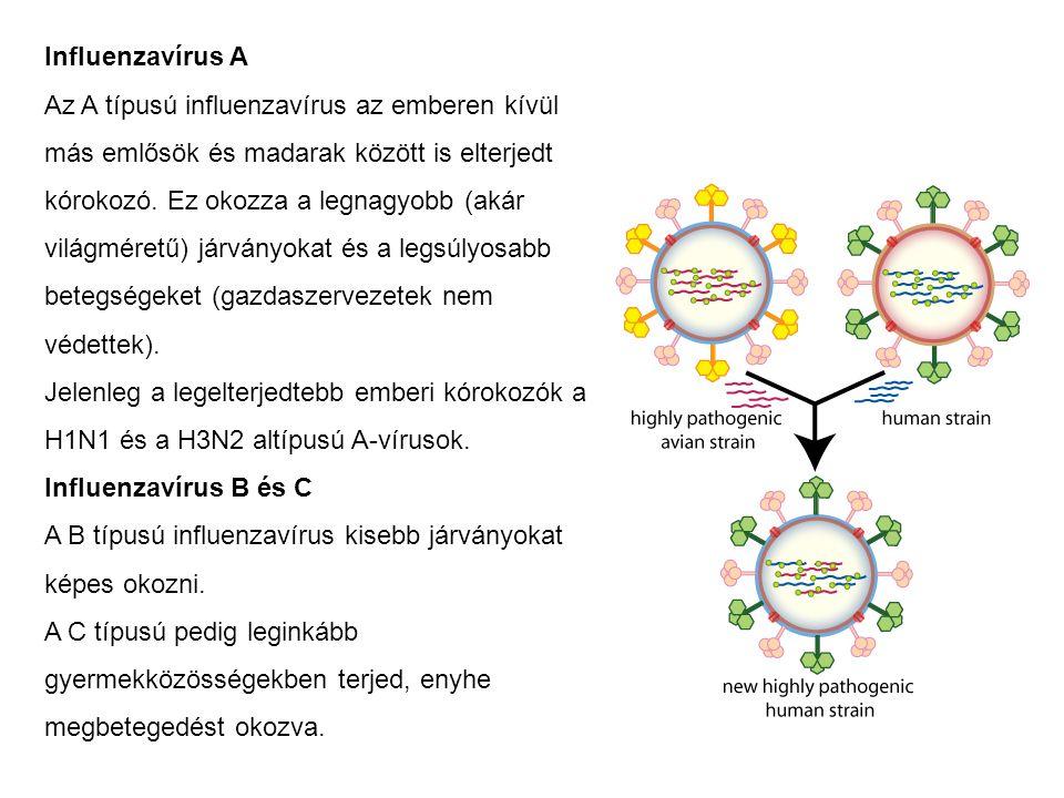 Influenzavírus A Az A típusú influenzavírus az emberen kívül más emlősök és madarak között is elterjedt kórokozó. Ez okozza a legnagyobb (akár világmé