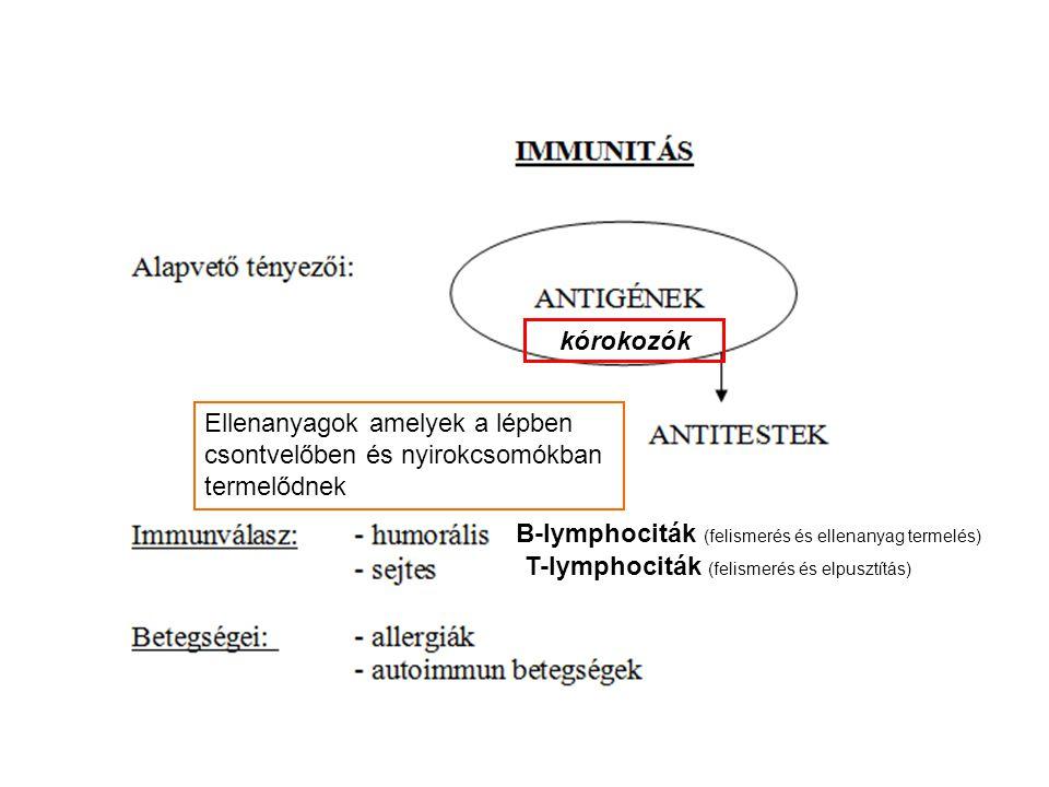 A védettség tana kórokozók Ellenanyagok amelyek a lépben csontvelőben és nyirokcsomókban termelődnek B-lymphociták (felismerés és ellenanyag termelés)