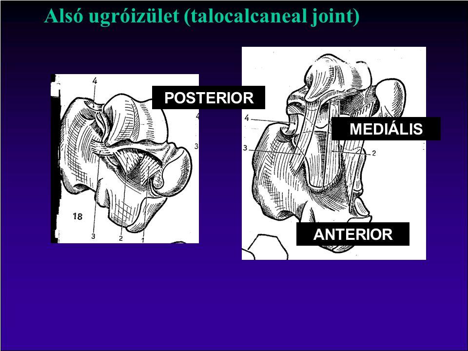 Alsó ugróizület (talocalcaneal joint) POSTERIOR ANTERIOR MEDIÁLIS