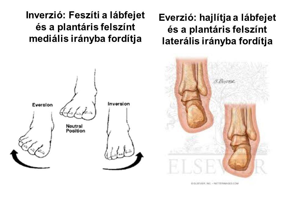 Inverzió: Feszíti a lábfejet és a plantáris felszínt mediális irányba fordítja Everzió: hajlítja a lábfejet és a plantáris felszínt laterális irányba fordítja