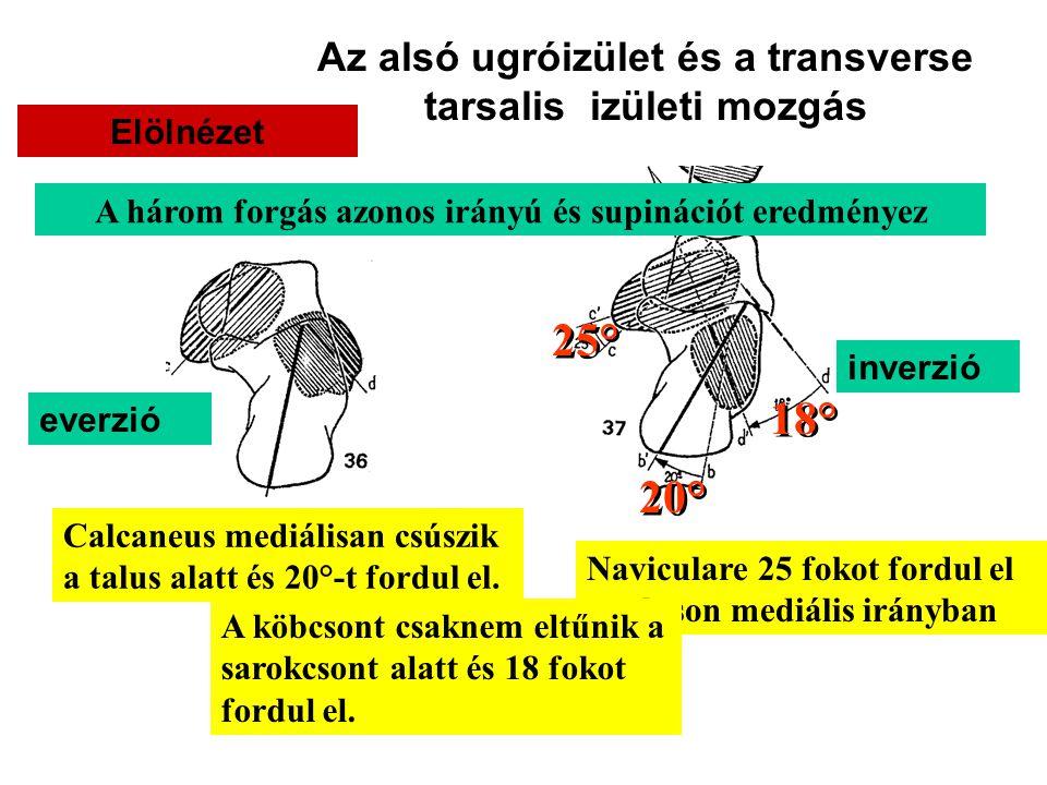 Az alsó ugróizület és a transverse tarsalis izületi mozgás Elölnézet everzió inverzió Naviculare 25 fokot fordul el a taluson mediális irányban 25° A köbcsont csaknem eltűnik a sarokcsont alatt és 18 fokot fordul el.