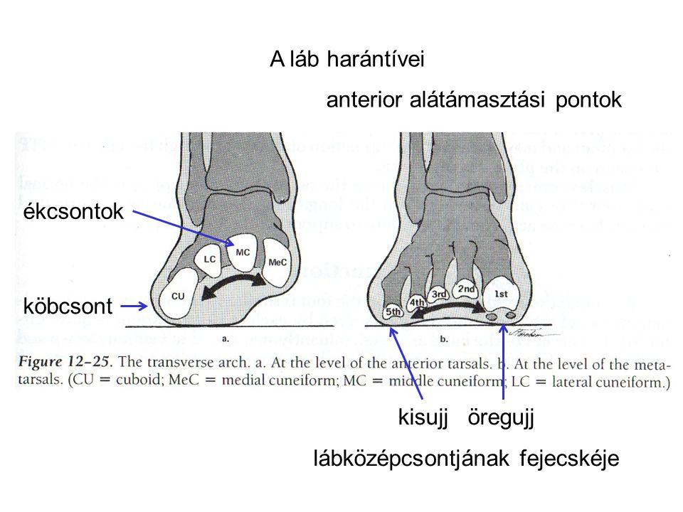 A láb harántívei köbcsont ékcsontok kisujj öregujj lábközépcsontjának fejecskéje anterior alátámasztási pontok