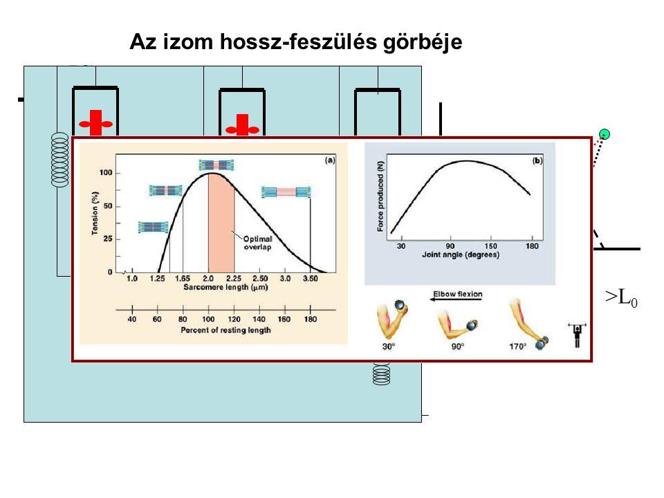 A maximális izometriás erő nagyságát befolyásoló tényezők Izomhossz (erő- hossz összefüggés) Izületi szög (nyomaték – izületi szög összefüggés) Az izo