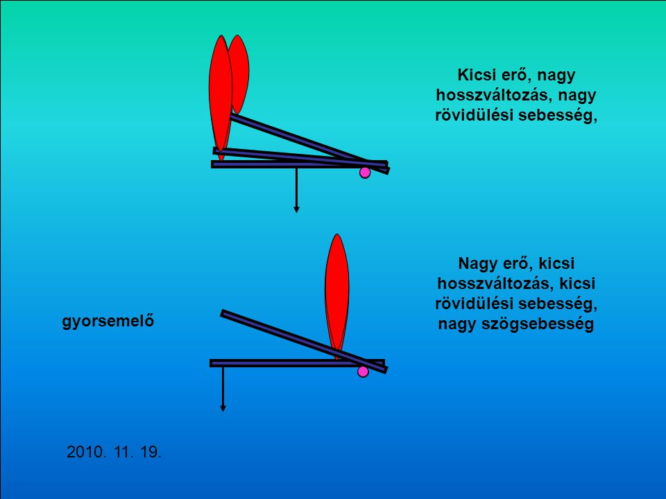 gyorsemelő Nagy erő, kicsi hosszváltozás, kicsi rövidülési sebesség, nagy szögsebesség Kicsi erő, nagy hosszváltozás, nagy rövidülési sebesség, 2010.