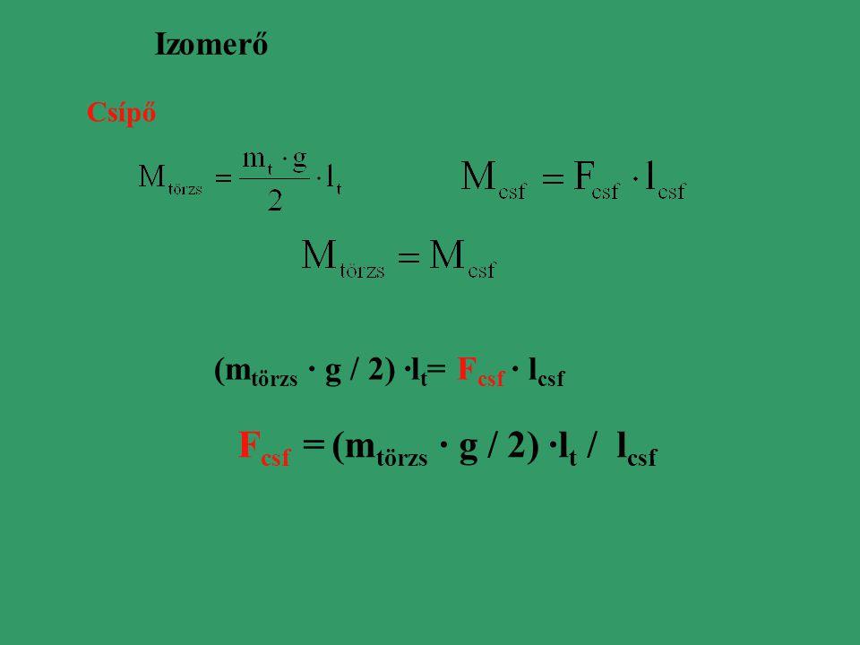 Izomerő Csípő (m törzs · g / 2) ·l t = F csf · l csf F csf = (m törzs · g / 2) ·l t / l csf