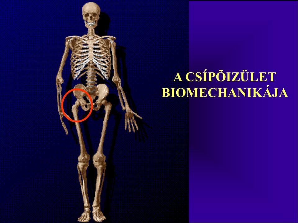A csípő izmai belső csípőizmok: a hasüregben, medencében eredő és nagyrészt ott is található izmok csípő-horpaszizom (musculus iliopsoas) – hajlító nagy horpaszizom (musculus psoas major) eredés: a 12.