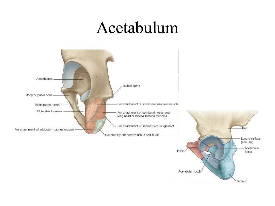 Extenzió Gluteus maximus Hamstrings Biceps Femoris S-L,Semimembranosus,Semitendinosus