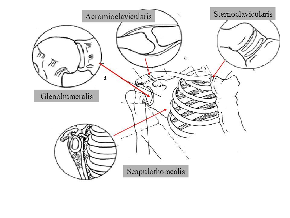 A VÁLLÍZÜLETI KOMPLEXUM BIOMECHANIKÁJA Funkciója: A felkarcsont (humerus) lehető legszabadabb mozgásának biztosítása (nem a testúly megtámasztása)