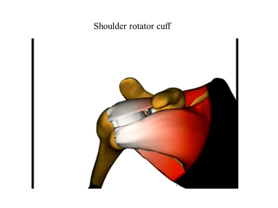 PosteriorAnterior Teres Minor Infraspinatus Subscapularis Supraspinatus Váll rotátor izomköpeny Izmok is stabilizálják az ízületet Humerus
