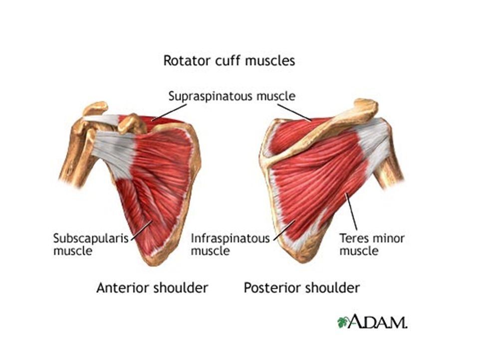 Shoulder rotator cuff