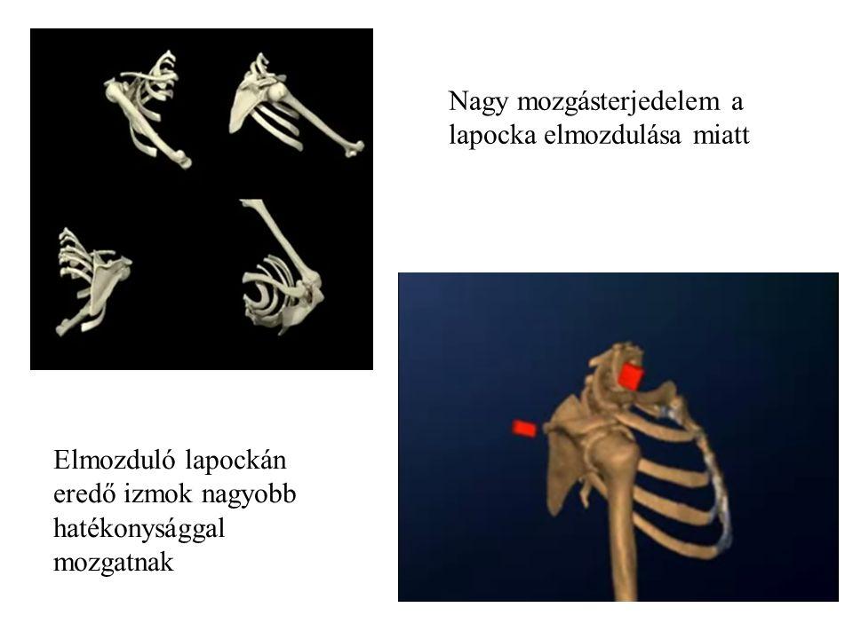 Sternum Clavicula Scapula Humerus Glenohumeralis Acromioclavicularis Sternoclavicularis Scapulothoracalis