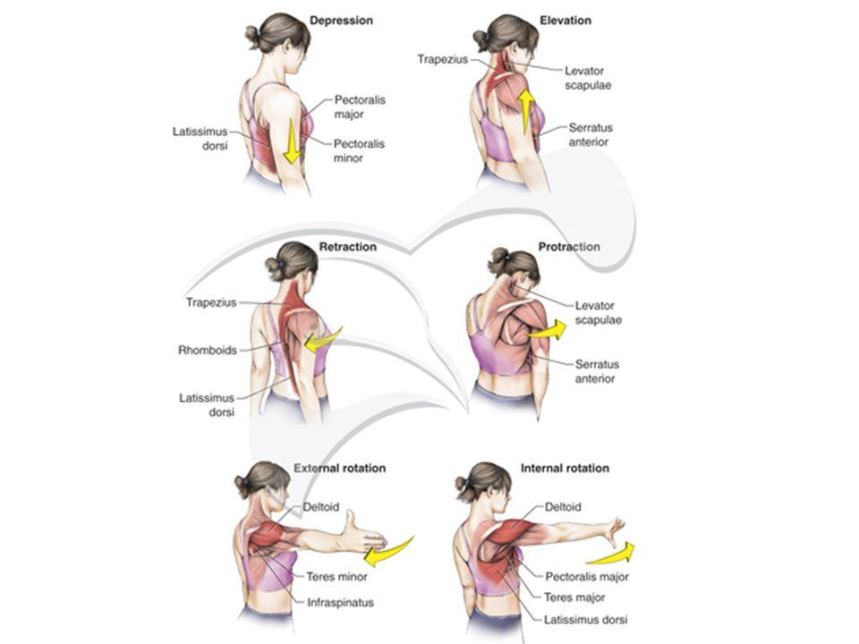 """Scapulothoracalis """"ízület"""" A lapockát és a hát különböző részeit izmok tartják össze és ezáltal stabil helyzetet biztosít a lapockának és a lapockán f"""
