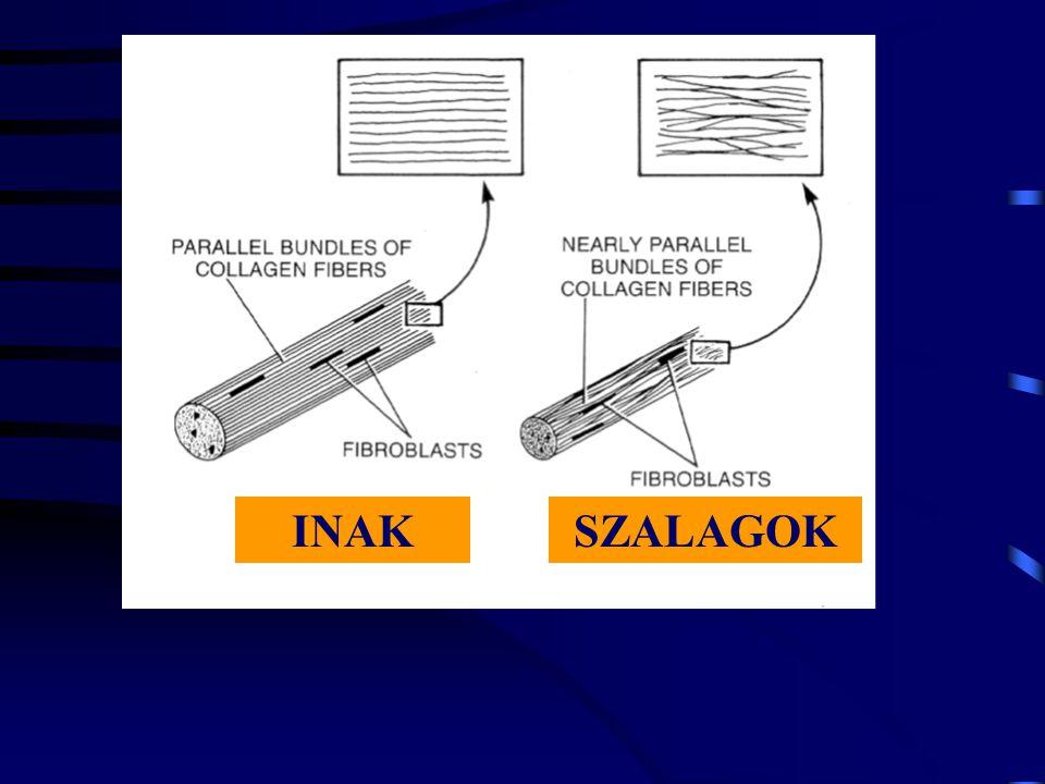 A kollagének mikrostruktúrája Az inak és szalagok I típusú kollagénekből állnak.