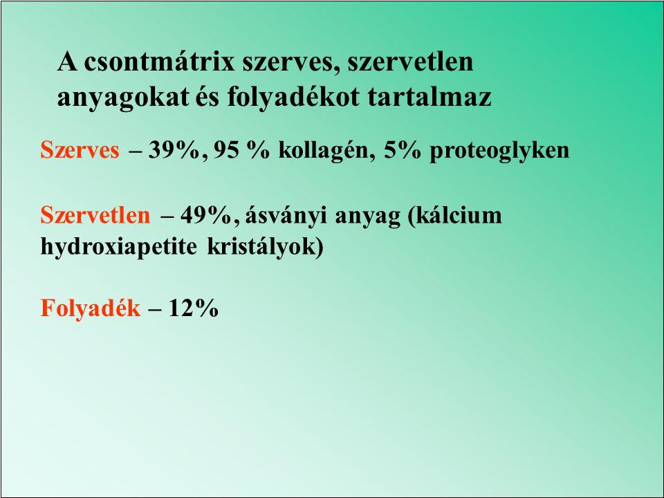 A csontmátrix szerves, szervetlen anyagokat és folyadékot tartalmaz Szerves – 39%, 95 % kollagén, 5% proteoglyken Szervetlen – 49%, ásványi anyag (kálcium hydroxiapetite kristályok) Folyadék – 12%