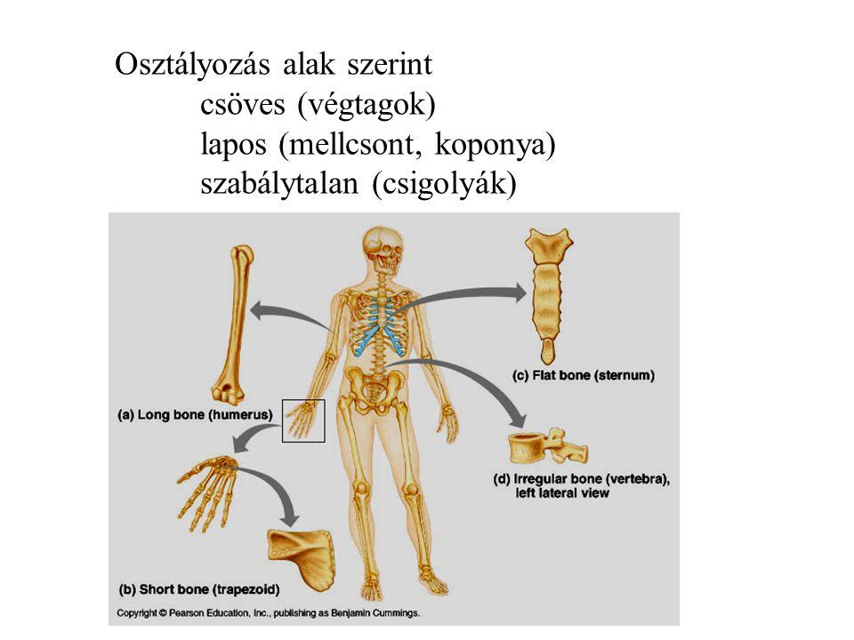 A csontok felépítésének alapja: lehető legkisebb tömeg mellett lehető legnagyobb teherbírás