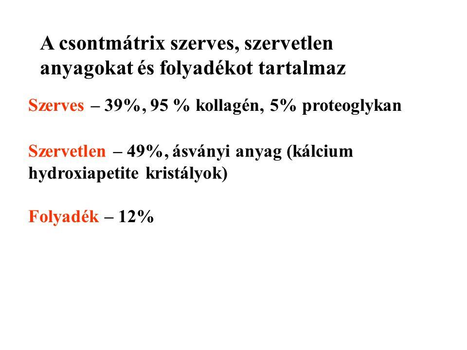 A csontmátrix szerves, szervetlen anyagokat és folyadékot tartalmaz Szerves – 39%, 95 % kollagén, 5% proteoglykan Szervetlen – 49%, ásványi anyag (kálcium hydroxiapetite kristályok) Folyadék – 12%