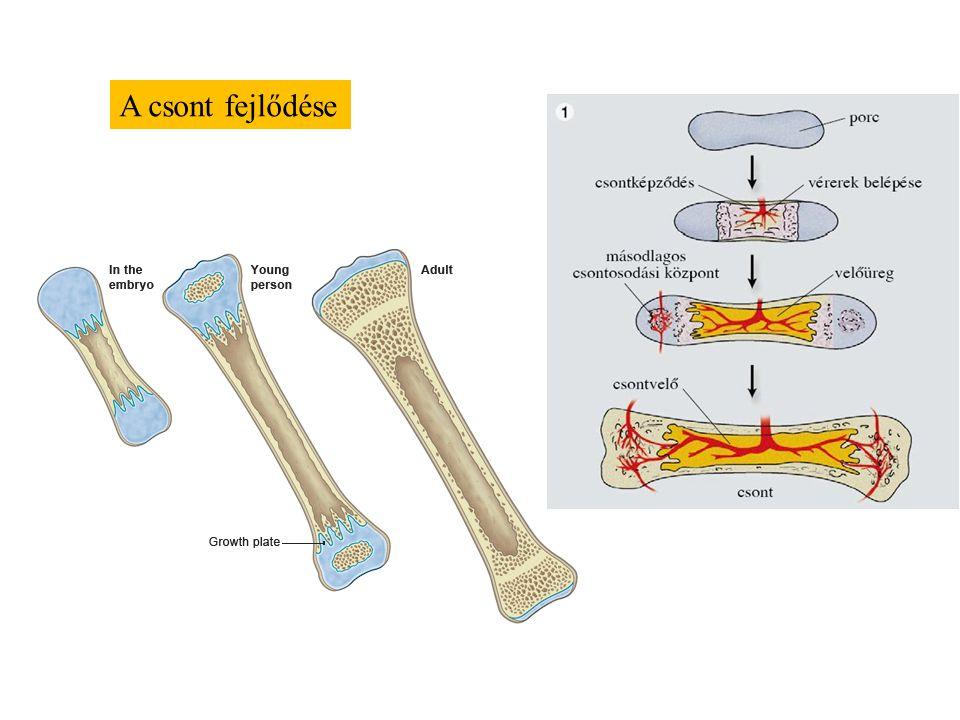 A csont fejlődése