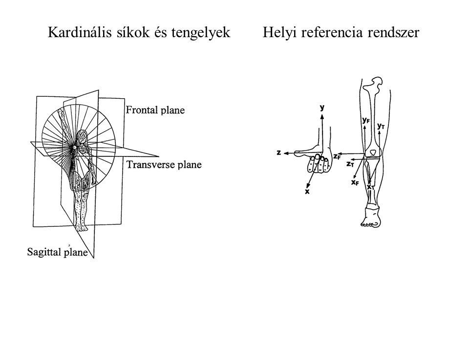 Tengelyek Longitudinális – Szagittális és frontális Anteroposterior – Szagitális és transzverzális Lateromediális – Frontális és transzverzális