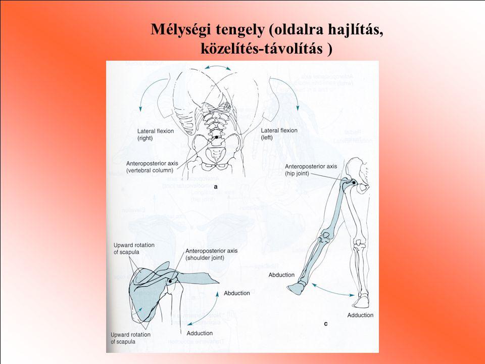 Porcos összeköttetés típusleírásfunkciómozgáspéldák Rostos Porcos Szinoviális Rostos szövetek által kapcsolt stabil hajlás mozgás semmi v.