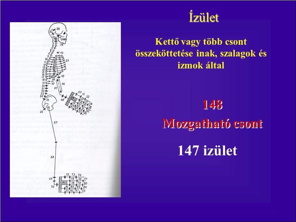 Ízület Kettő vagy több csont összeköttetése inak, szalagok és izmok által 148 Mozgatható csont 148 Mozgatható csont 147 izület