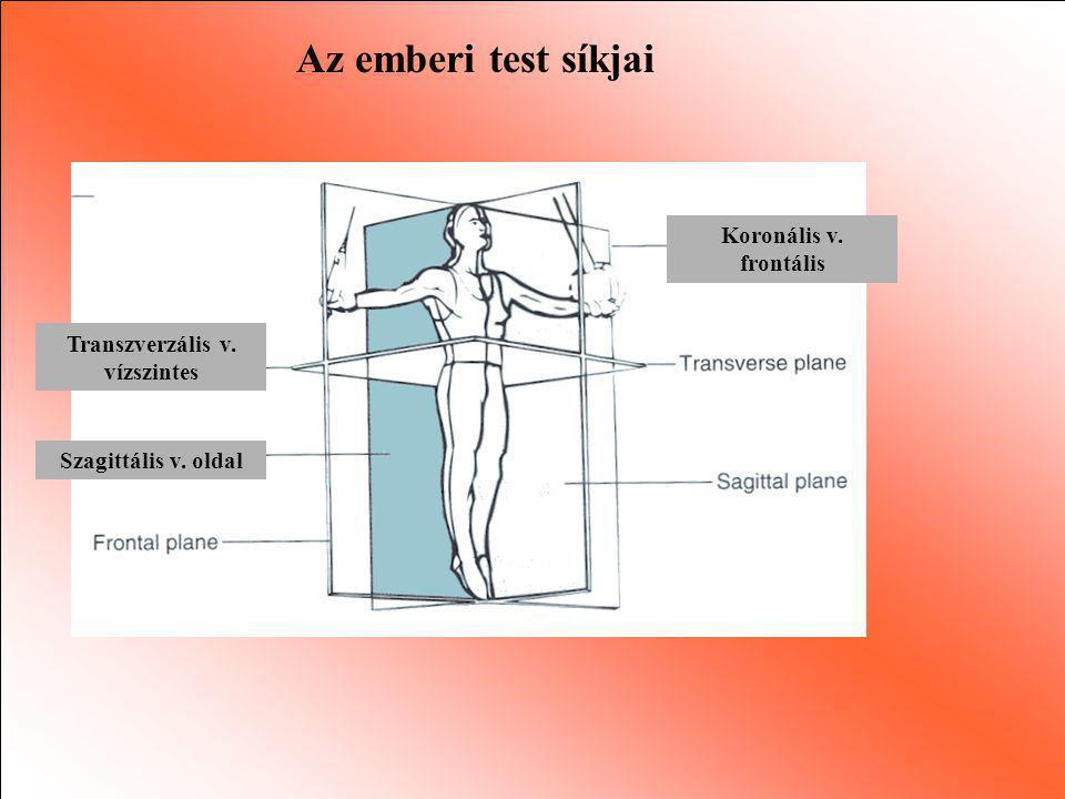 Az emberi test síkjai Transzverzális v. vízszintes Szagittális v. oldal Koronális v. frontális
