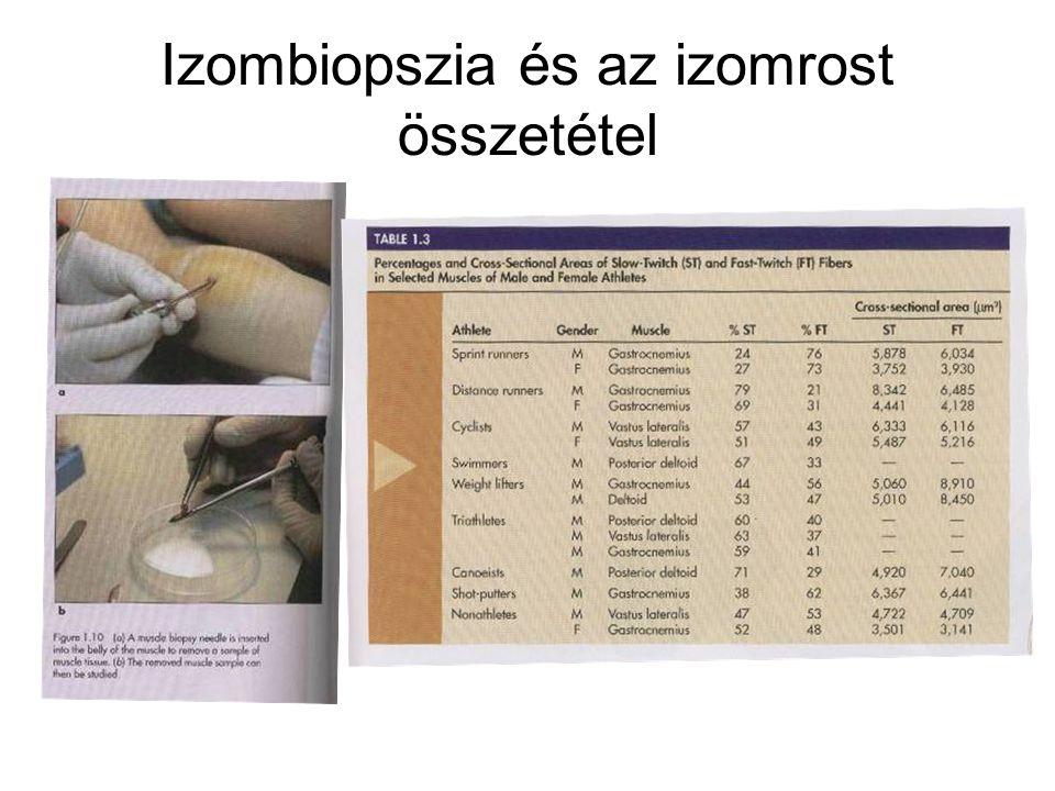 Vázizom adaptáció Hypertrófia (izomrost keresztmetszete növekszik, vastagszik) Izomanyagcsere változás (tápanyag felhasználás, metabolizmus, elimináció, enzimaktivitás) Kapillarizáció (hajszálérhálózat, vérellátás, oxigénellátás) Neuromuscularis adaptáció(ingerületvezetés, kálcium ellátottság, felvevő képesség, átvivőanyag ellátottság, Acetilcholyn)