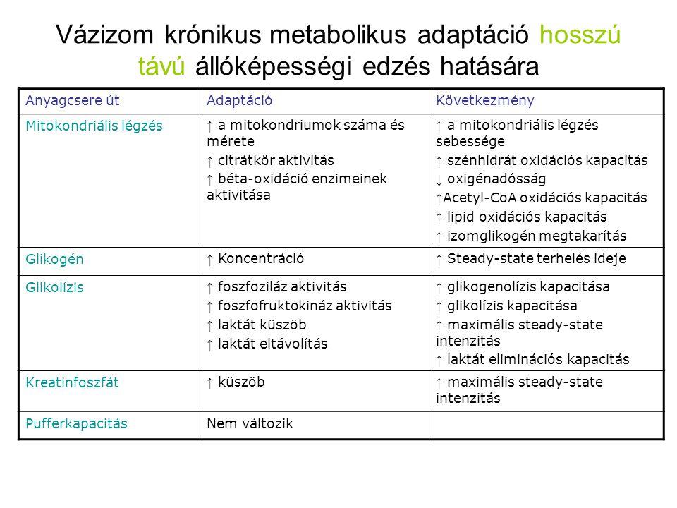 Vázizom krónikus metabolikus adaptáció rövid távú intenzív edzés hatására Anyagcsere útAdaptációKövetkezmény Mitokondriális légzésMaximális fokozódásIntenzív terhelés során nincs jelentősége Glikogén ↑ Koncentráció ↑ glikolízis szubsztrát raktárak Glikolízis ↑ foszfoziláz aktivitás ↑ foszfofruktokináz aktivitás ↑ glikogenolízis és glikolízis sebessége ATPMinimális fokozódás ↑ intenzív terheléstűrő képesség KreatinfoszfátMinimális fokozódás ↑ gyors ATP regenerációs kapacitás Pufferkapacitás ↑ kapacitás ↑ a glikolízis ATP termelő kapacitása Az acidózis okozta fáradság kitolódik