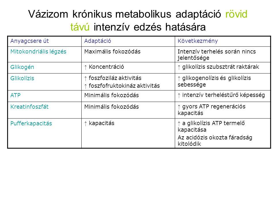 Vázizom krónikus metabolikus adaptáció rövid távú intenzív edzés hatására Anyagcsere útAdaptációKövetkezmény Mitokondriális légzésMaximális fokozódásI