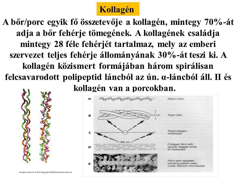Chondrocyta Kötőszöveti sejt, porc sejt