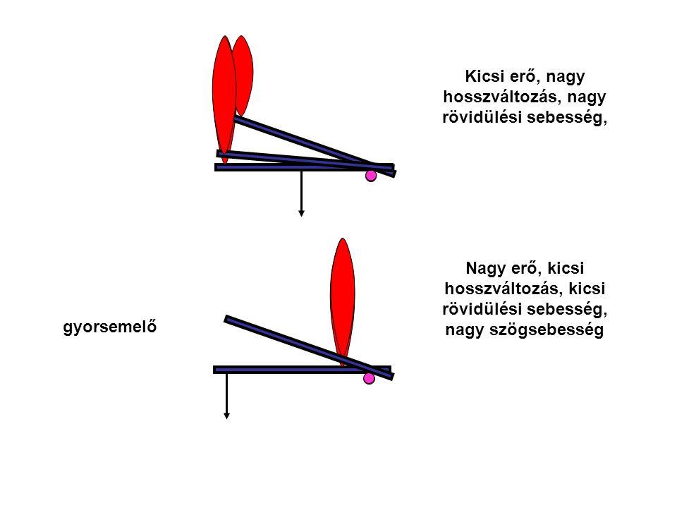 gyorsemelő Nagy erő, kicsi hosszváltozás, kicsi rövidülési sebesség, nagy szögsebesség Kicsi erő, nagy hosszváltozás, nagy rövidülési sebesség,