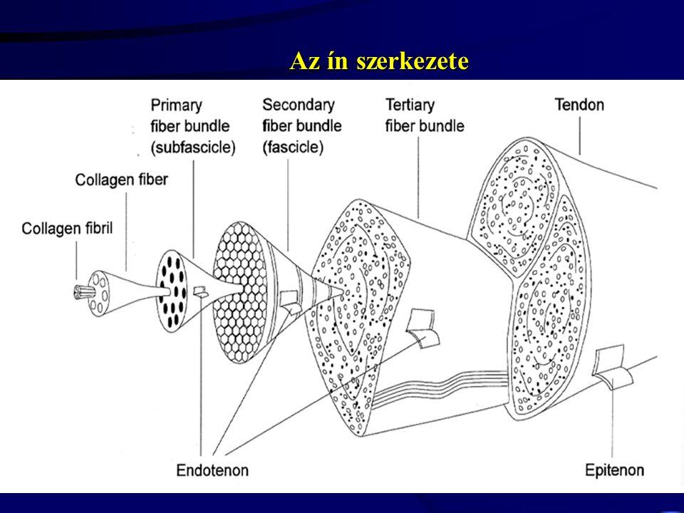 ín izom Ujjszerű befűződések: 1-8  m Az átkapcsolódási 30-40 %-al nagyobb a II típusú izomrostok esetében