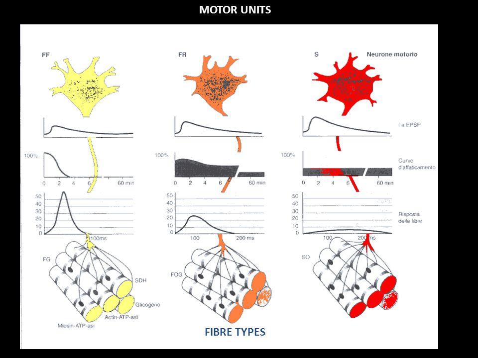 A motoros egységek típusai Alacsony ingerküszöb, kicsi, lassú, fáradás rezisztencia Nagy ingerküszöb, nagy, gyors, fáradékony